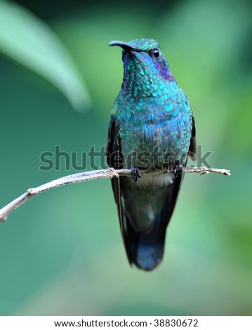 green violet ear hummingbird, savegre valley, san gerado de dota, costa rica. exotic bird in vibrant tropical jungle