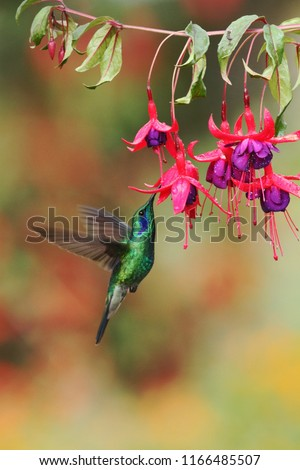 Green violetear, Colibri thalassinus, hovering next to red flower in garden, bird from mountain tropical forest, Savegre, Costa Rica, natural habitat, beautiful hummingbird, colourful background