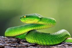 Green viper snake on branch, trimeresuru albolabris