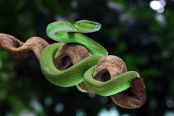 green viper snake, venomous and poisonous snake