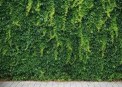 Green wall of climbing leaves. The background for the layout.