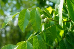 Green walnut fruits hanging on a branch with leaves. Walnut tree with two green walnuts.
