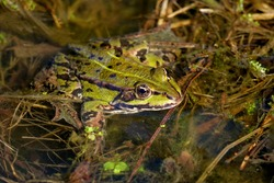 green water frog in a pond, close-up, lat. rana, pelophylax
