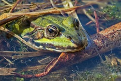 green water frog in the water, close-up from the head lat. rana, pelophylax