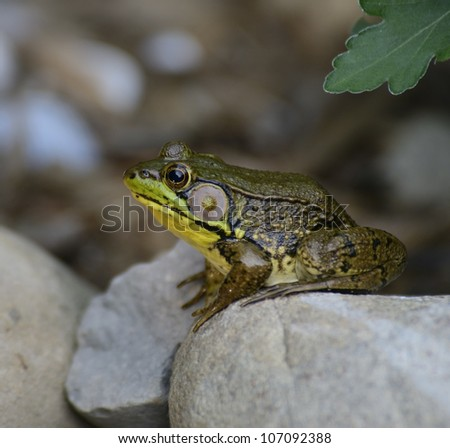 Green Water Frog Sitting On The Rocks