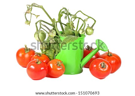 Green watering can with crop of ripe tomatoes, isolated on white