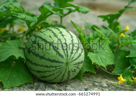 Green watermelon growing in the garden