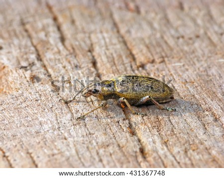 Green weevil or Gold-dust weevil #431367748