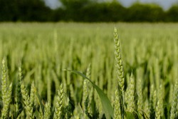 Green wheat close up with warm spring summer. Wheat field detail. Agricultural field. Wheat background.