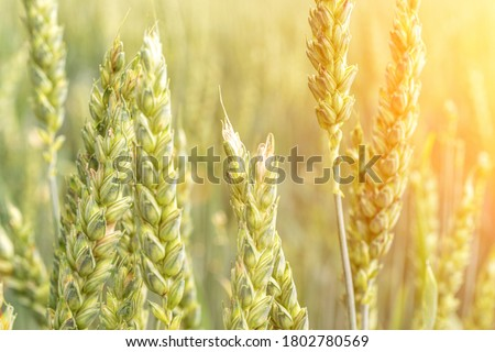 Green wheat crop. Agriculture harvest with cereal plant crop background. Bread rye green grain on golden sky sunset.