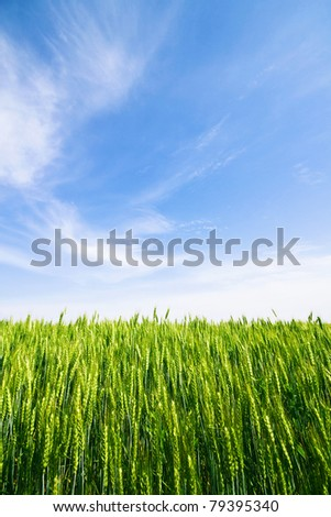 Green wheat ears and blue sky with thin clouds