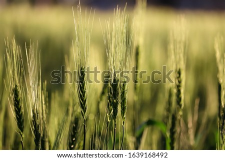 Green wheat ears,Green wheat in the field.Wheat sprouts on sunny day. Organic green wheat in the field