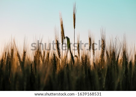 Green wheat ears,Green wheat in the field.Wheat sprouts on sunny day. Organic green wheat in the field,