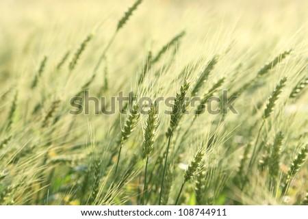 Green wheat field #108744911