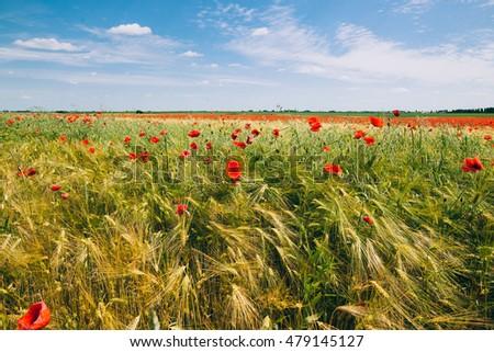 Stock Photo Green wheat field
