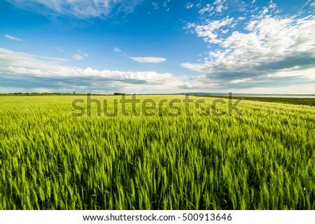 Green wheat field #500913646