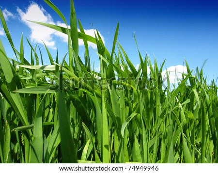 green wheat field and cloudy sky - stock photo