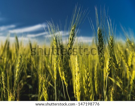 green wheat field and the blue sky with clouds
