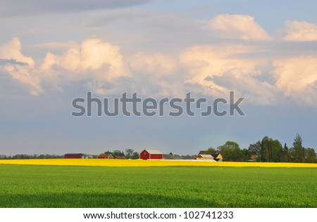 Green wheat field and yellow rape field with red farmhouses in the background.