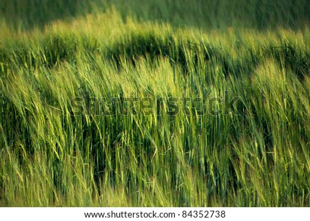 Green wheat field blown by wind for texture or background