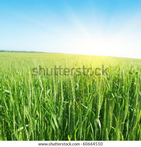 Green wheat field,blue sky and sun. - stock photo
