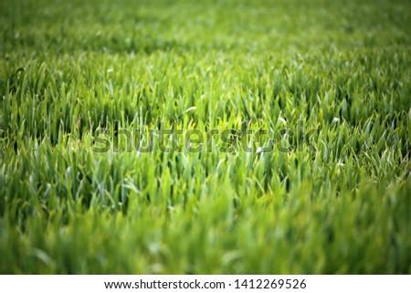 green wheat field - field