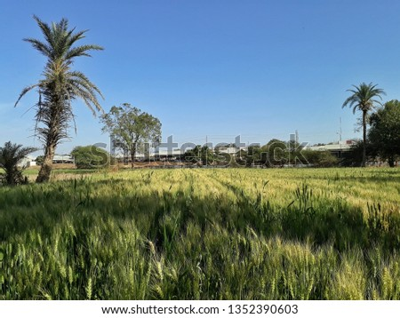 """Green Wheat Field in front of blue sky, Agriculture in India, Date Palm Tree, It is called """"Kheti"""" in India  #1352390603"""