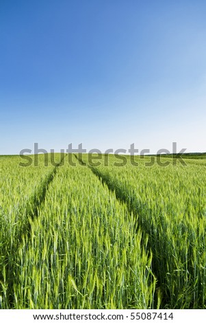 Green wheat field on a clear spring day