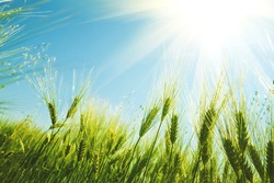 Green wheat field on sunny day. Natural background. Harvest concept. Zero angle. Soft focus