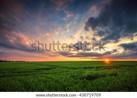 Green wheat field, sunset shot #430719709