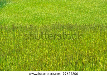 Green wheat field texture , background