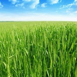 Green wheat field under blue sky.