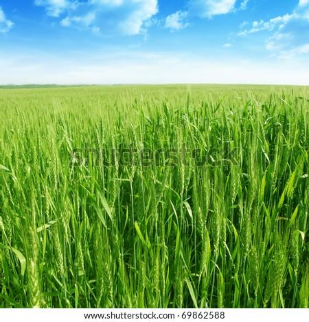 Green wheat field under blue sky. #69862588