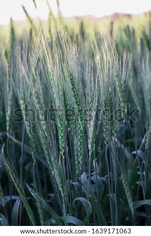 Green wheat,green wheat in the field.wheat sprouts on sunny day.organic green wheat in the field.green wheat field