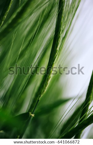 green wheat in cultivated field ...