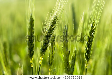 Green wheat in the field.