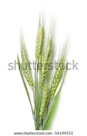green wheat isolated on white