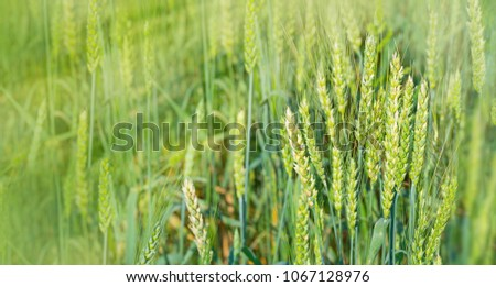 Green wheat on field in rays of sun. Sunshine and wheat ears. Rich harvest concept.