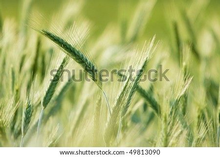 Green wheat plants growing on a field, bright background