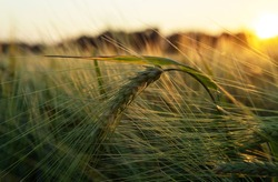 Green wheat spike closeup at sunset