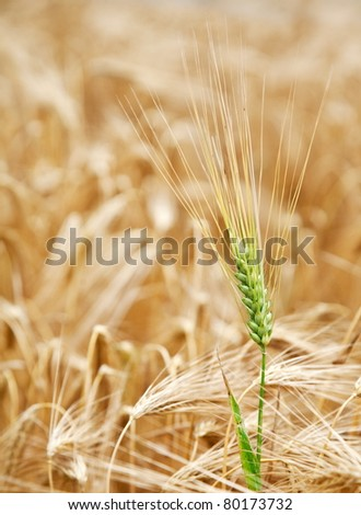 Green wheat stalk in the yellow wheat field.