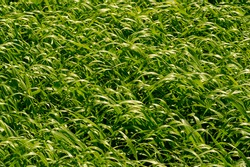 Green wheat texture. Summer photography. A large field of sown wheat. a cereal plant that is the most important species grown in temperate countries, the grain of which is ground to make flour