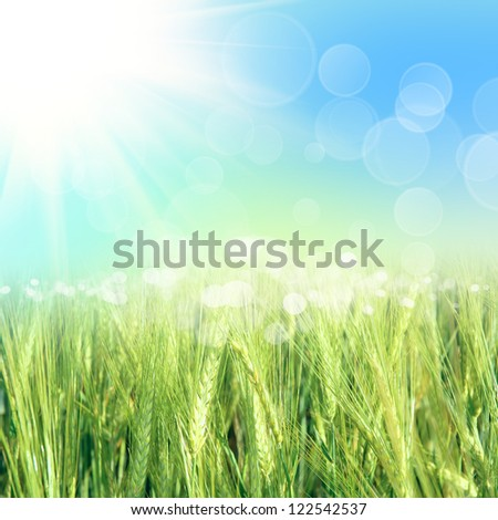 green wheat under sunrays