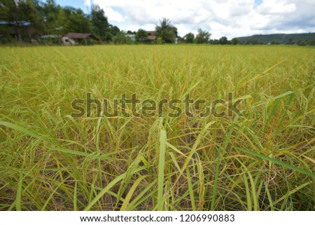 Green wheat, wheat wheat #1206990883