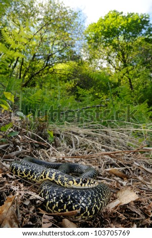 Green Whip Snake (Hierophis viridiflavus) in its habitat
