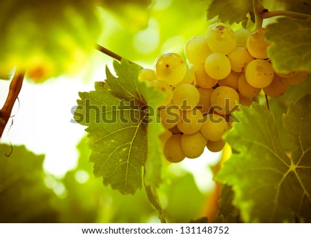 Green - white grape (Riesling)