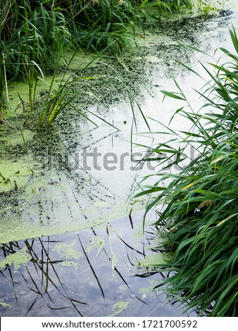 Green wild pond with mud