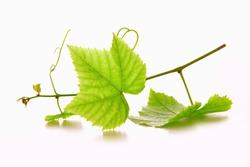 Green wine grape leaves.