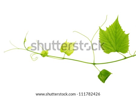 green wine leaves