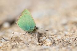 Green-winged butterfly perched on a stone on the earthen ground where all the details of the animal, its large eyes and antennae can be seen.